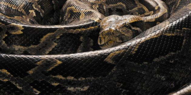 Illegal Pythons In Mission, B.C. Home Found,