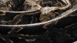 Nearly 50 Illegal Pythons Found In B.C.