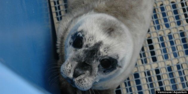 Red Square, Rescued Seal Pup, Arrives At Vancouver Aquarium