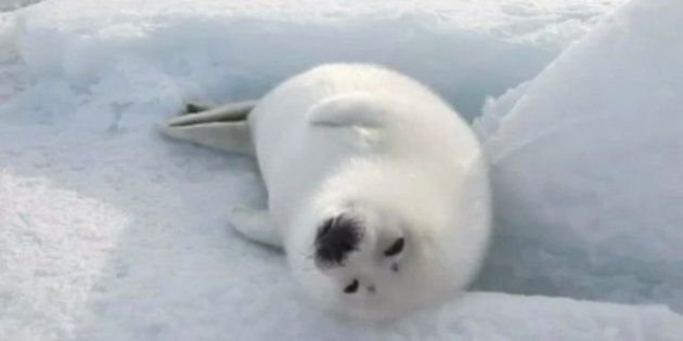 A Vegetarian's Defence of The Seal