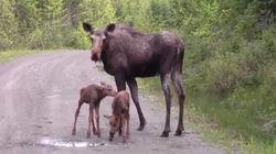 WATCH: Mama Moose Attacks