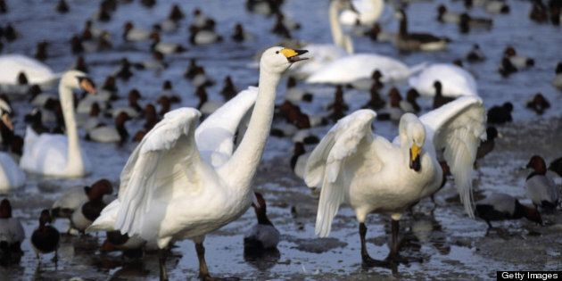 WHOOPER SWANS. CYGNUS CYGNUS. WINTERING IN BRITAIN. UNITED KINGDOM