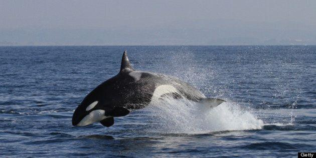Transient Killer Whale - Monterey Bay, CA.