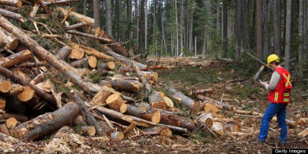The mountain pine beetle is responsible for massive damage to lodgepole pine forests in Canada where...