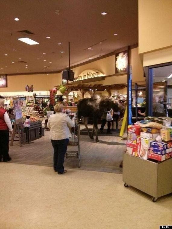 Safeway Moose Spooks Smithers Shoppers (VIDEO,