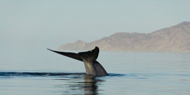 Whales Tan To Protect Themselves From