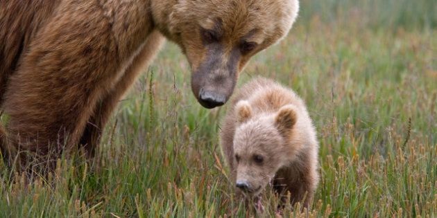 Bear In Mission Creek Park: Mother Bear Forces Park Closure In