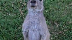 WATCH: Kangaroo Tries To Drown