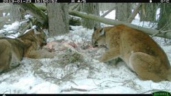 LOOK: Cougars Caught Feasting On
