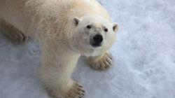 Canadian Documents Help Polar Bear Poachers In