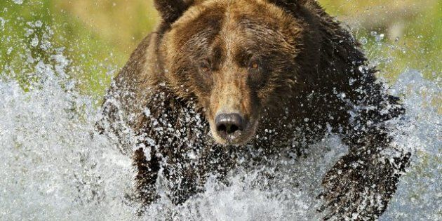 B.C. Man Kills Grizzly That Attacked