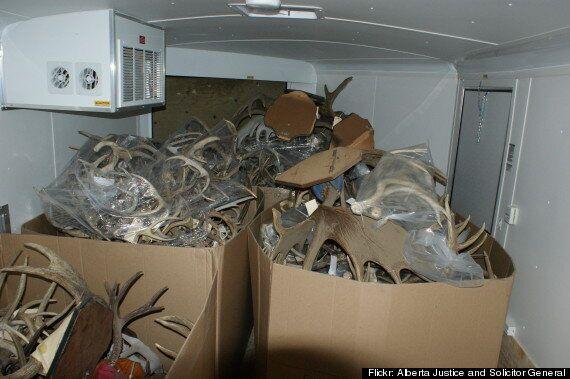 Antlers Seized: Wildlife Officers Find 500+ Sets Of Deer, Moose, Elk And Caribou