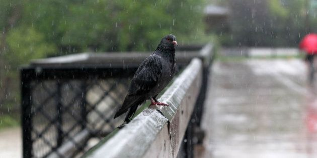 A tired and waterlogged pigeon rests on a downtown bridge as waters continue to rise in Calgary, Alberta,...