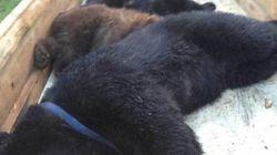 Mother Bear, Cubs Shot