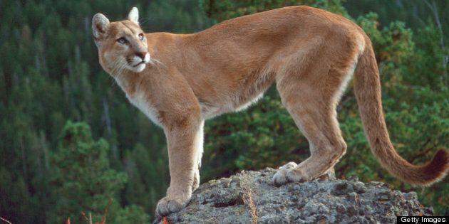 Cougar Shot In Coquitlam River