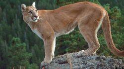 Cougar Shot Dead In Vancouver