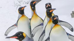 LOOK: Amazing Penguins Thrilled In Snow For The First