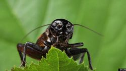 Here's What Male Crickets Do After A