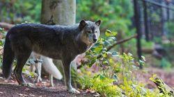B.C.'s 'Barbaric' Wolf