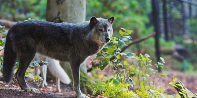 'Barbaric' Wolf Cull Angers B.C. Animal Rights