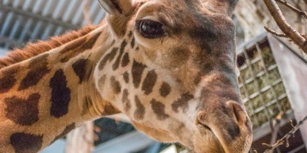 Calgary Zoo's Giraffe Crosby Makes His Debut