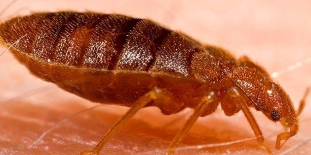 Although some disease organisms have been recovered from bed bugs under laboratory conditions, none have...