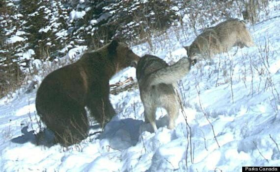 Grizzly Bear, Wolf Pack Fight Over Carcass In Waterton Lakes National Park