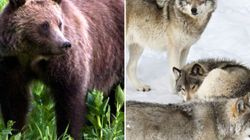 LOOK: Grizzly Bear Vs. Wolf