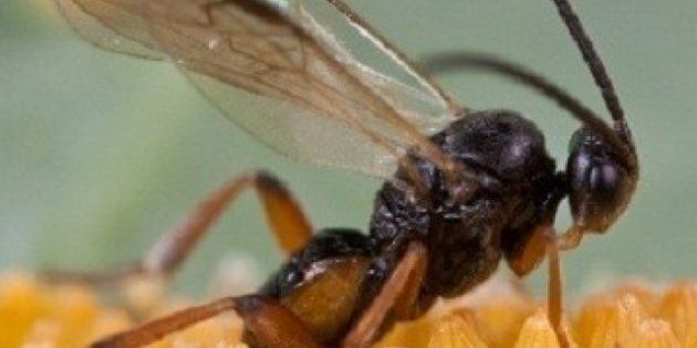 SFU Wasp Harem Study Finds Males 'Tag' Several Possible