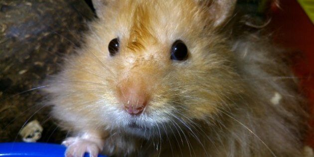 911 Calls To RCMP Ask Help With Hamster, Chicken Crossing