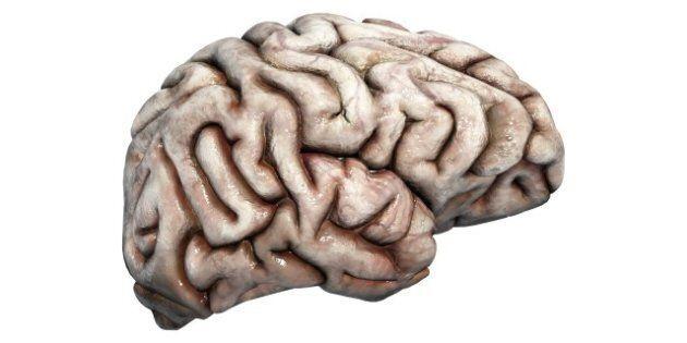 human brain on a white...