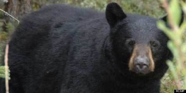 Bears Spotted In Residential Burnaby
