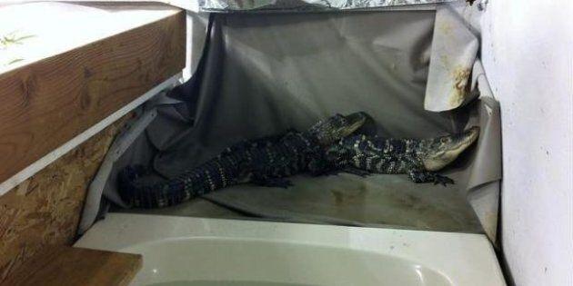 Alligators Guard Pot In Washington Stripper's