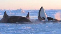 WATCH: Killer Whales Trapped By