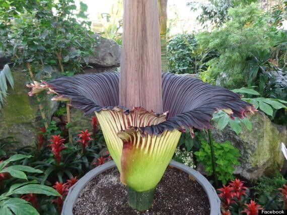 Corpse Flower: Just How Smelly Is Edmonton's Stinkiest Plant? (PHOTOS,