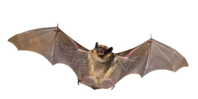 Endangered Species Canada: Bats, Snakes Among Species In Danger In