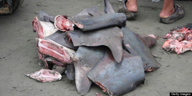 ECUADOR - OCTOBER 18: Shark fins to be sold for the shark fin soup industry. Ecuador. (Photo by Jim Abernethy/National...
