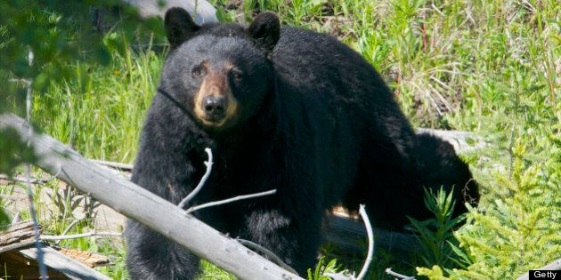A black bear looks surprised through the