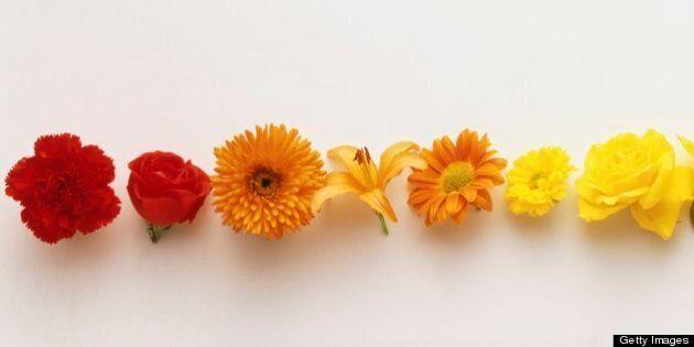 Row of colourful flowerheads creating graduated colour