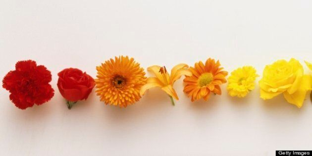 Row of colourful flowerheads creating graduated colour spectrum.