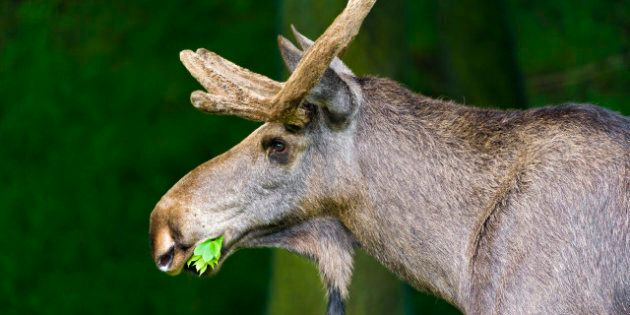 Mad Moose Disease Unlikely To Spread Says Alberta