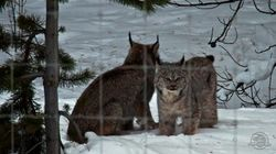 LOOK: Highway-Stopping Lynx Kitten Hanging With