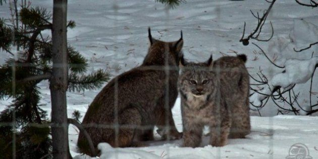 Lynx Mom, Kitten Hanging Around Lake Louise In Banff, Cause Highway Sensation