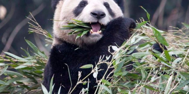 Pandas In Toronto: Funniest Tweets About Canada's Newest Animal