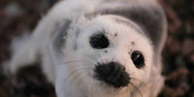 Canada Seal Hunt: Anti-Seal Hunt Group To Stay Off Ice, Target