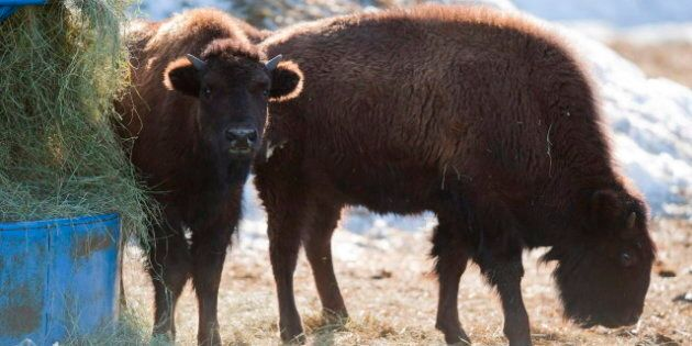 Elk Island National Park's Wood Bison Herd Transferred To