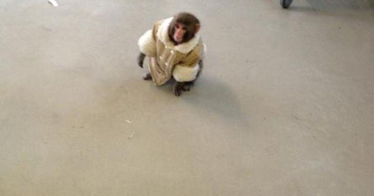 Ikea Monkey Animal Wearing Coat Gets Loose At Toronto