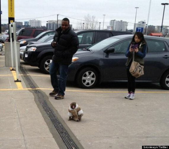 Ikea Monkey: Animal Wearing Coat Gets Loose At Toronto Ikea (PHOTOS,
