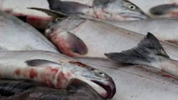 B.C. Salmon Cleared For
