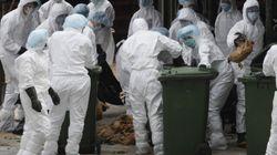 Deadly Bird Flu Strain Can't Spread Through Humans: